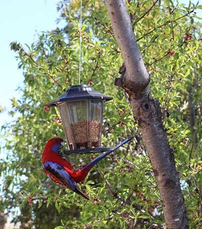Native birds at Bathurst Accommodation