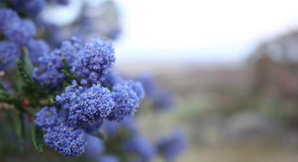 Blue native flower
